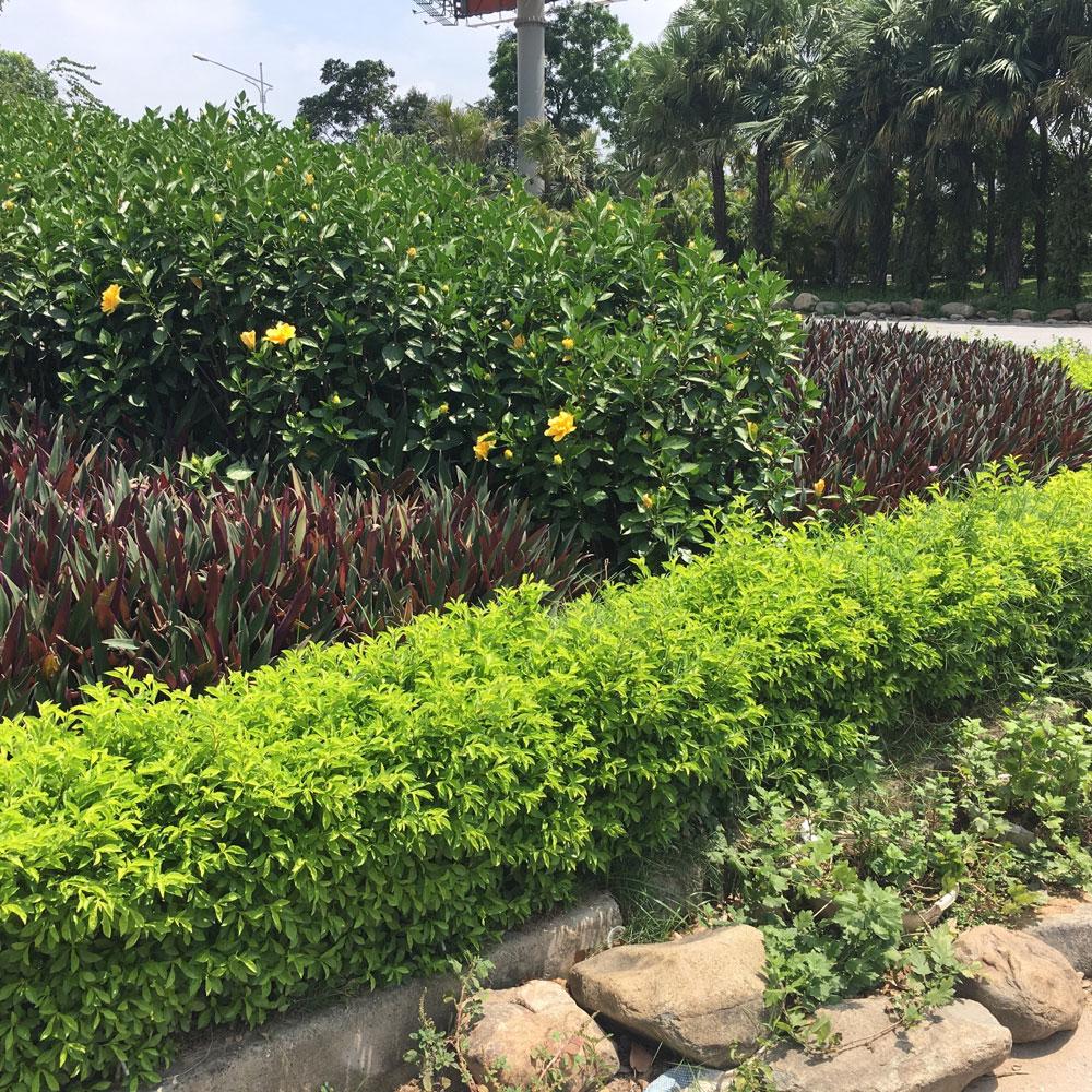 hàng rào cây chuỗi ngọc