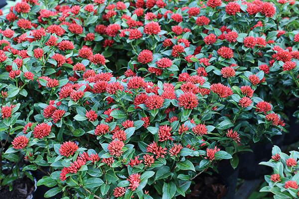 hoa bông trang