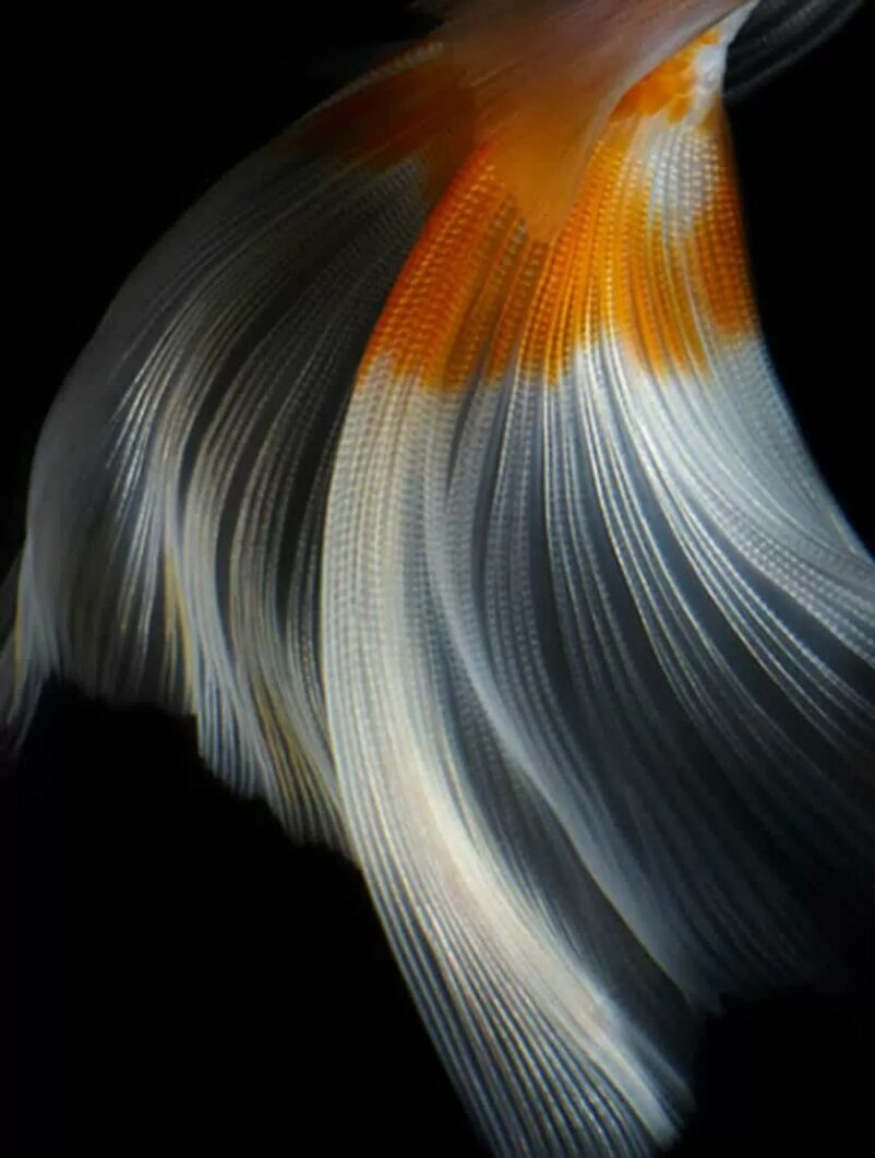 phần đuôi của cá koi đuôi bướm