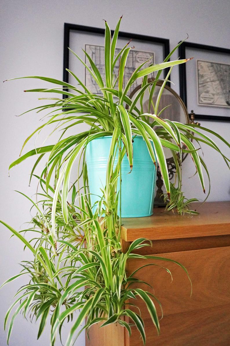 cỏ lan chi trồng trong chậu trang trí