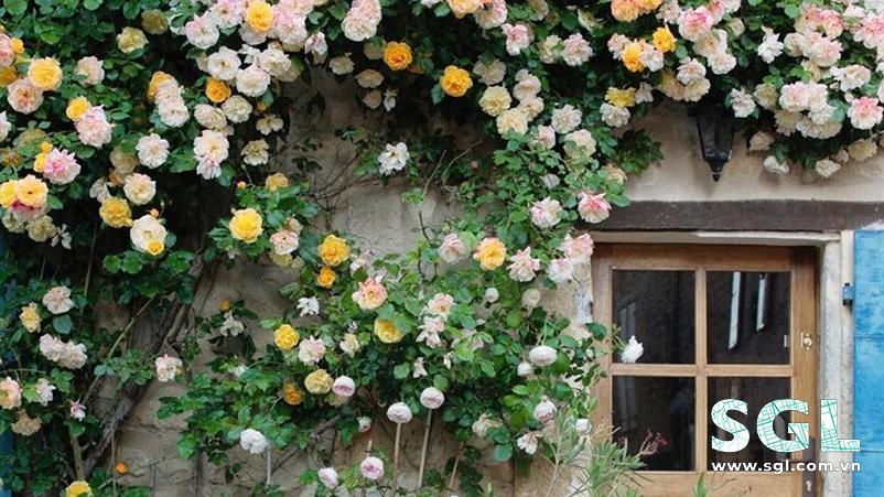 cây hoa hồng leo - pháp