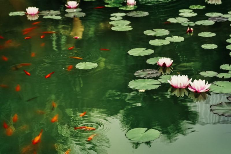 trang trí hồ cá koi với hoa sen