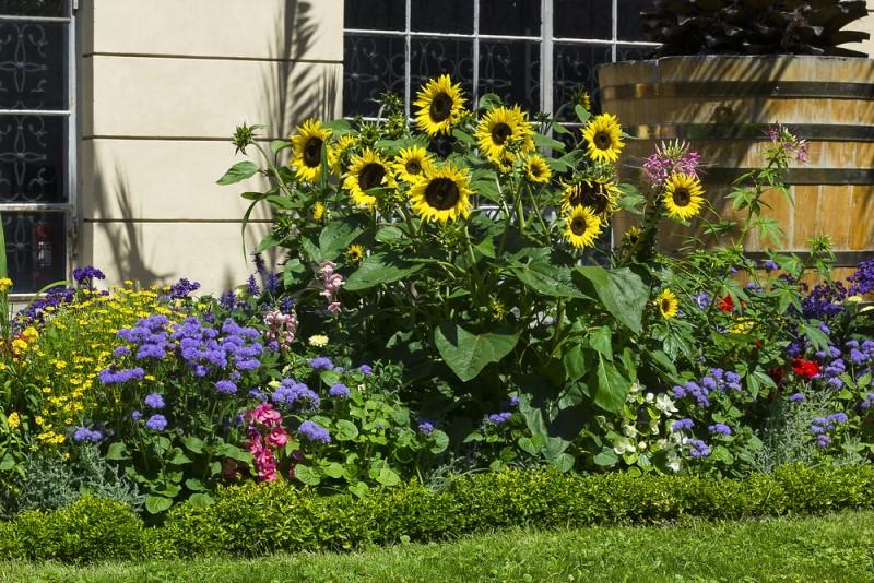 khu vườn hoa mặt trời đẹp
