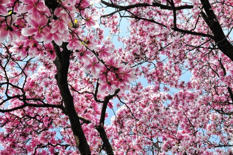 Hoa mộc lan top cây bóng mát