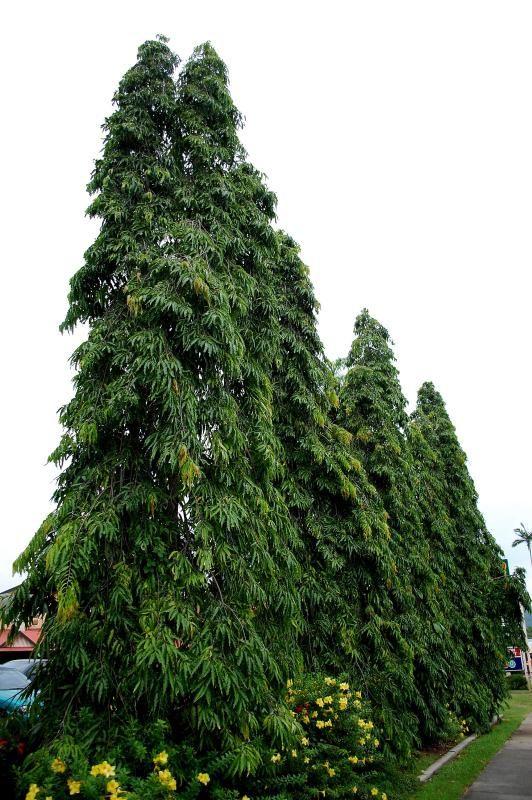 Hoàng nam có dáng cao, tán nhỏ tốn ít diện tích vì vậy thích hợp làm rào cản bụi và tiếng ồn
