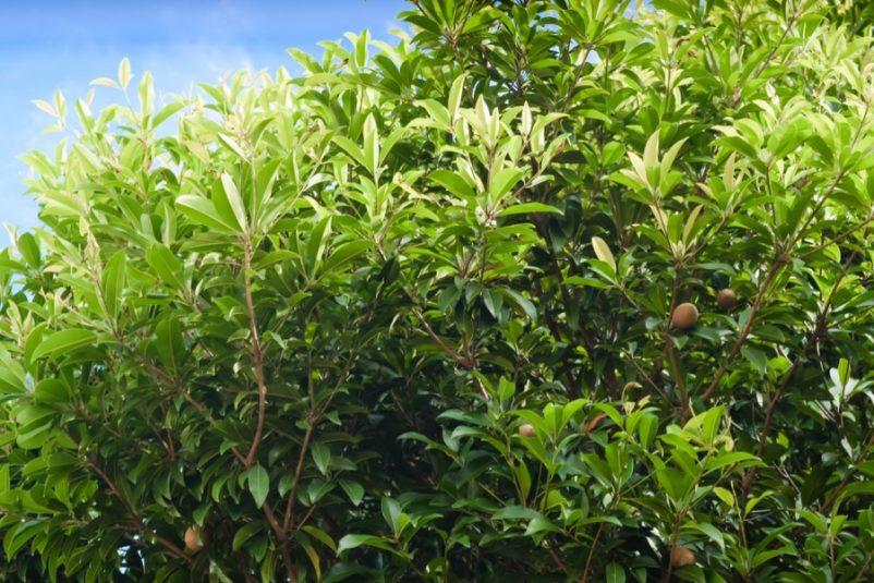 Sở dĩ có cái tên hồng xiêm bởi vì giống cây này được đem về Việt Nam từ nước Xiêm La (nay là Thái Lan) và quả có hình dáng giống quả hồng