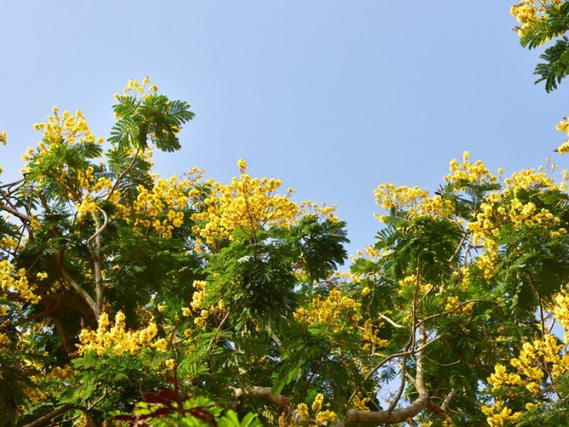 Lim xẹt có thể thích nghi với nhiều loại đất kể cả đất chua, đất phèn và chịu được nắng nóng, khô hạn