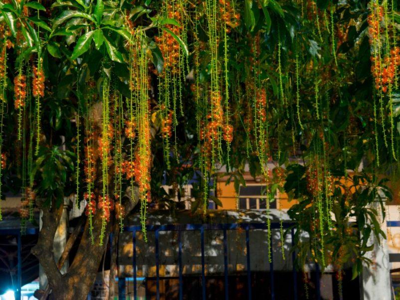 Lộc vừng còn là một loại cây bonsai có giá trị cao được nhiều nghệ nhân uốn nắn tạo thành các thế đẹp