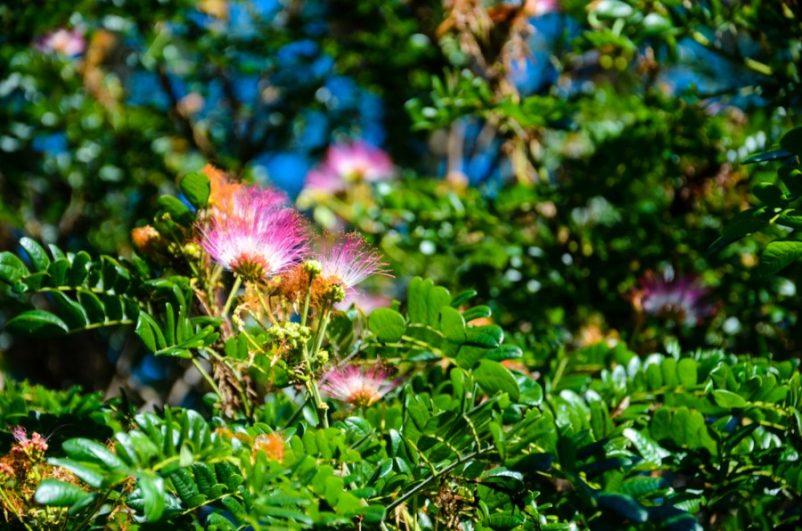 Hoa me tây có màu trắng hồng, khi nở tỏa mùi hương thoang thoảng rất dễ chịu