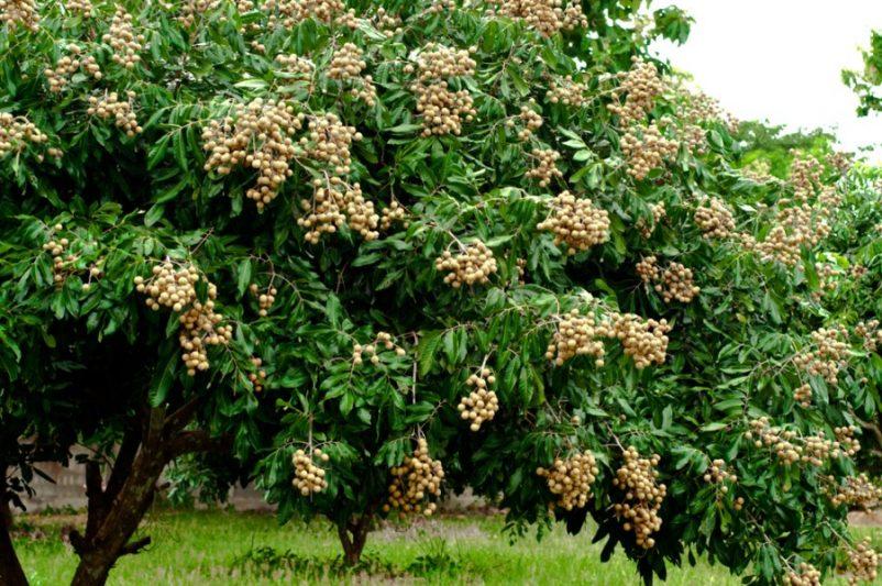 Nhãn là loại cây thân gỗ sống lâu năm, tán rộng che bóng mát, quả mọc thành chùm tượng trưng cho sự sung túc, sum vầy