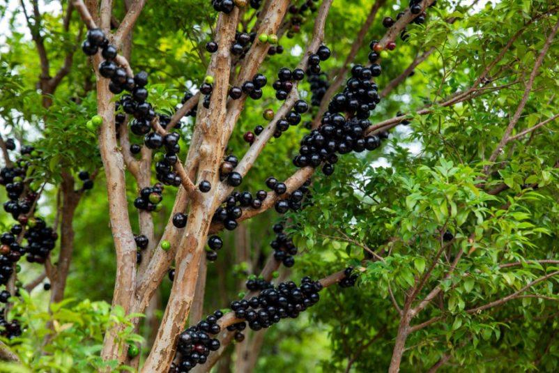 Nho thân gỗ là loại cây rất đặc biệt, thân giống như cây ổi, quả mọc trên thân như cây sung, trái to bằng quả mận bắc nhưng vị ngon ngọt gần giống như nho