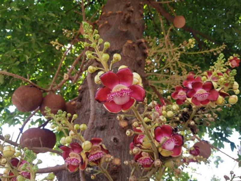 Sala ra hoa và quả cực kì nhiều, tuy nhiên cần lưu ý hái bỏ quả sala khi còn non, bởi khi chín quả sala có mùi khá khó chịu