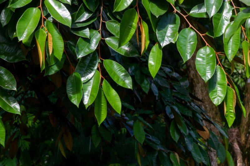 Cây vú sữa nằm trong top đầu của danh mục các loại cây bóng mát trồng trong sân vườn biệt thự nhờ đặc tính sinh trưởng nhanh, phù hợp với khí hậu miền Nam