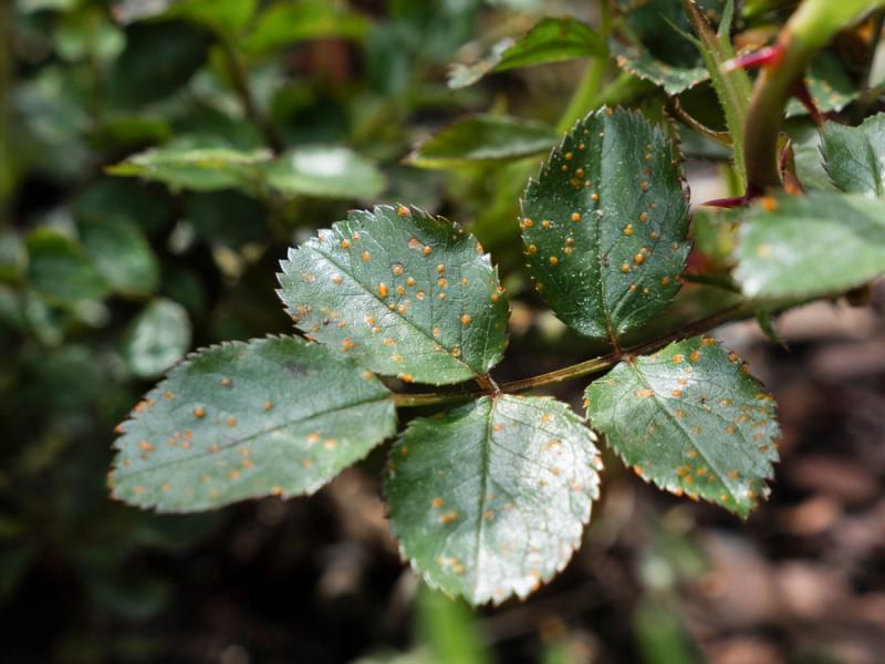Bệnh gỉ sắt không làm chết cây ngay mà sẽ khiến cây còi cọc, chậm phát triển, ít ra hoa, nếu có ra hoa thì hoa nhỏ và không đẹp