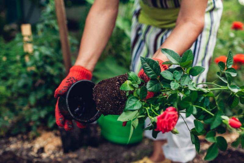 Khi lấy cây ra khỏi chậu ươm, cần đặc biệt chú ý không được làm vỡ bầu đất hoặc tác động quá mạnh đến bộ rễ