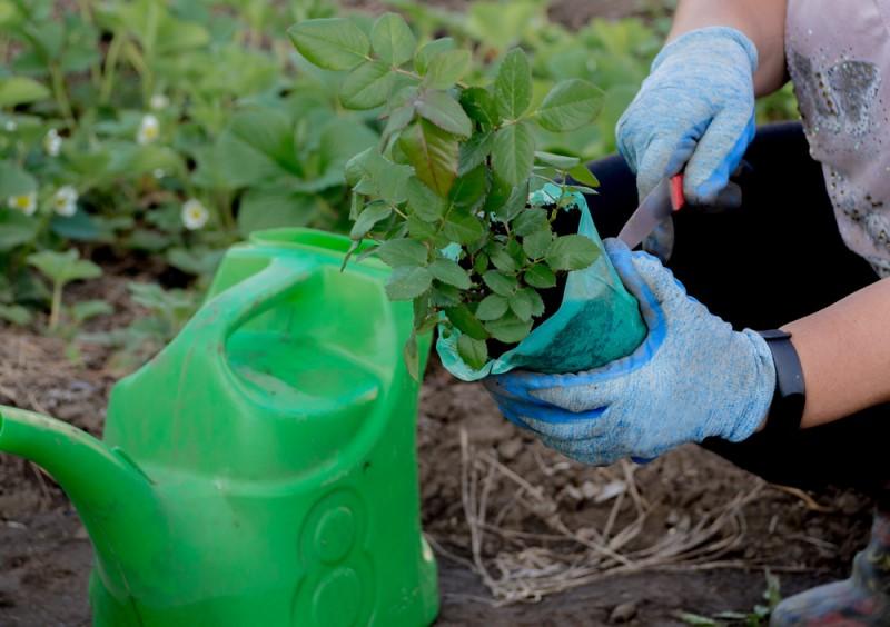 Lựa chọn cây giống tốt ảnh hưởng rất lớn đến sự sinh trưởng phát triển sau này của hoa hồng. Đừng ham rẻ mà chọn những cây giống xấu, bạn sẽ tốn rất nhiều công sức để chăm sóc