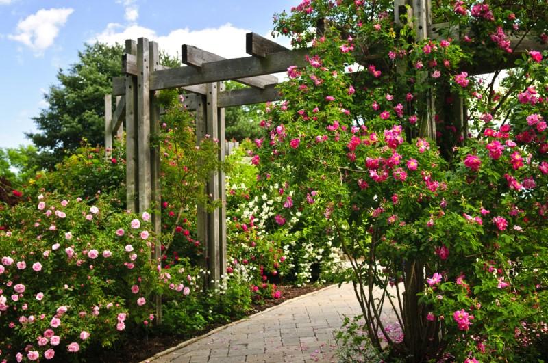 Giàn pergola cùng hoa hồng leo là sự kết hợp hoàn hảo để tạo nên một tiểu xinh xắn cho sân vườn