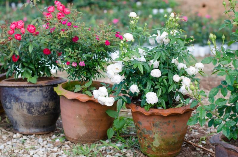 Chậu đất nung được đánh giá là thích hợp nhất để trồng hoa hồng