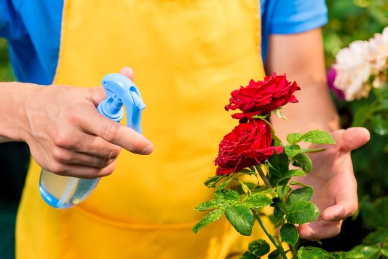 Khi mới thay chậu cho hoa hồng, chú ý không nên tưới quá nhiều nước, mà chỉ nên tưới vừa đủ ẩm để cây làm quen với môi trường mới