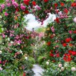 Hướng dẫn trồng và chăm sóc hoa hồng trong chậu đúng kỹ thuật